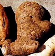 GROW TALLER MEXICAN YAM ROOT