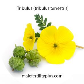Tribulus naturally increases the hormone levels